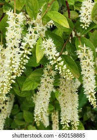 White Virginia Sweet-spire flowers with light green foliage