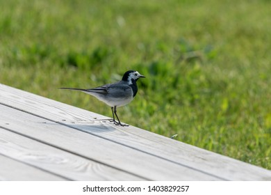 A White Wagtail in Denmark