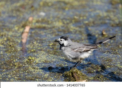 White Wagtail, fluffy, Water background, natural habitat. copy space.
