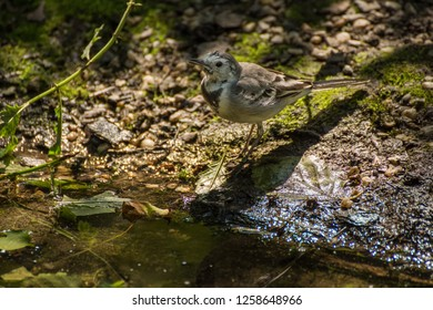 White Wagtail has thirst, White Wagtail at water, Motacilla alba