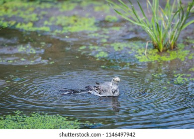 White Wagtail or Motacilla alba is bathed in water. Wagtails is a genus of songbirds. Wagtail is one of the most useful birds. It kills mosquitoes and flies, which deftly chases in the air