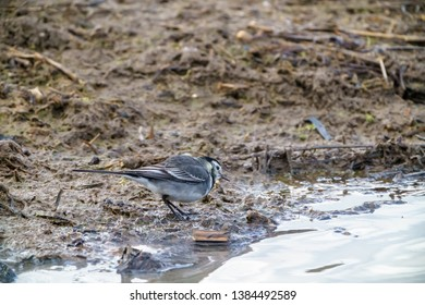 White Wagtail (Motacilla alba) foraging for food