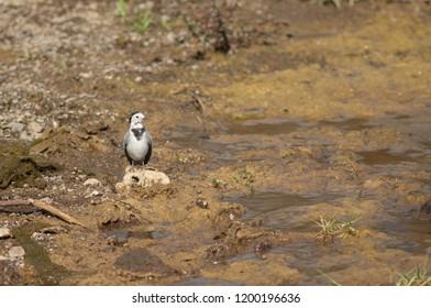 White wagtail (Motacilla alba). Hiran river. Sasan Gir. Gujarat. India.