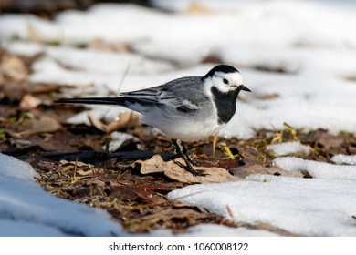 White Wagtail (Motacilla alba). Moscow, Russia