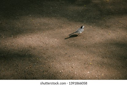 White Wagtail (Motacilla alba) on the road in the Park