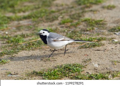 White wagtail (Motacilla alba) running on sandy soil against the background of growing grass.