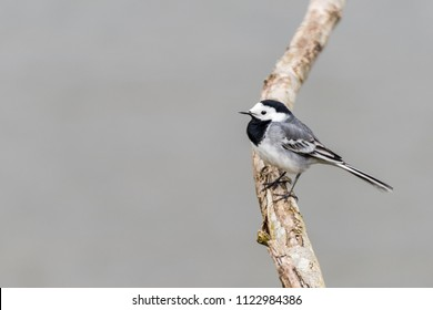 A white wagtail (motacilla alba) is sitting on a branch of a tree at Oostvaardersplassen in the Netherlands.