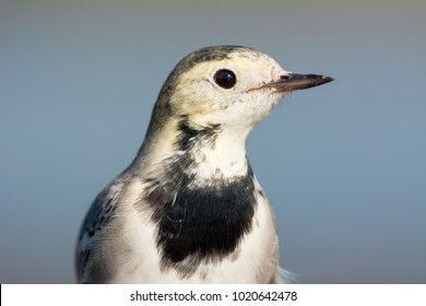 The white wagtail (Motacilla alba) is a small passerine bird in the wagtail family Motacillidae