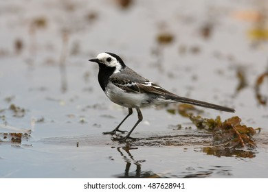 White Wagtail, Motacilla alba, small, common passerine looking for insects in water. Runde, Norway.