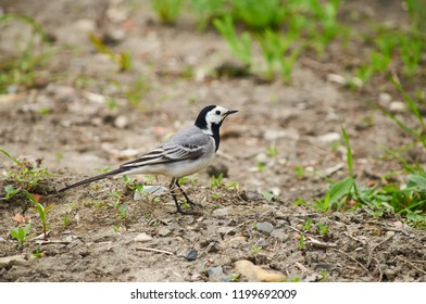 White wagtail (Motacilla alba) stands on stony ground against the background of growing grass.