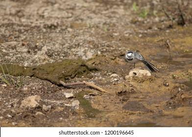 White wagtail (Motacilla alba) stretching. Hiran river. Sasan Gir. Gujarat. India.