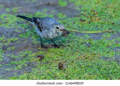 White Wagtail or Motacilla alba. Wagtails is a genus of songbirds. Wagtail is one of the most useful birds. It kills mosquitoes and flies, which deftly chases in the air