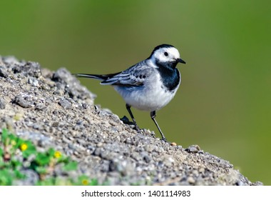 White wagtail and nature rides