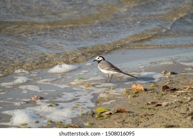 White wagtail on the shore of a lake close to Lippstadt, North Rhine-Westphalia, Germany (Motacilla alba, Bachstelze, lavandera blanca, Bergeronnette grise)