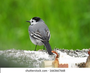 White wagtail on tree branch