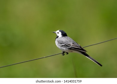 White Wagtail perched on wire isolated on perfect blurred green background. copy space.
