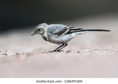 White Wagtail, Pied Wagtails, Wagtails, Motacilla alba