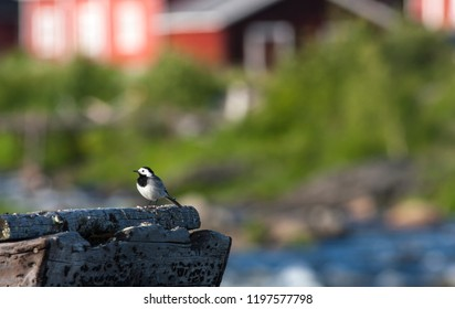 White Wagtail, Pied Wagtails, Wagtails sits on some wooden plank.