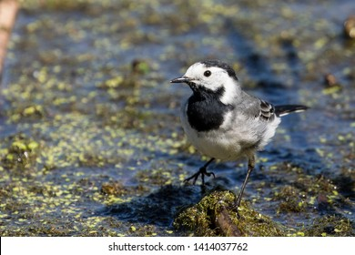 White Wagtail Portrait, Water background, natural habitat. copy space.