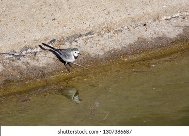 White wagtail and its reflection in the water. Motacilla alba