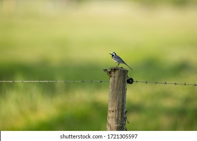 White wagtail songbird sitting on a wooden pole with barbwire in front of green background