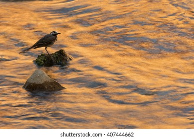 A white wagtail stands on a rock as the setting sun casts an orange glow on the water.