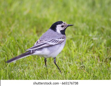 White Wagtail Wagtails is a genus of songbirds. Wagtail is one of the most useful birds. It kills mosquitoes and flies, which deftly chases in the air.