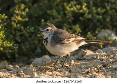 White wagtail wandering in the out skirts of Kabini forest, India