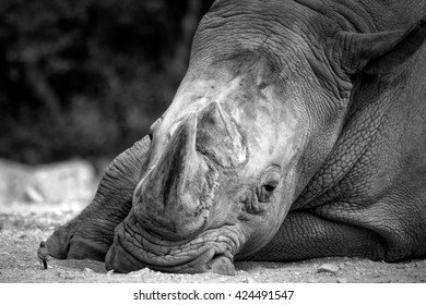 The white wagtale seems very brave to come so close to this giant white rhinocerus. The rhino was totally relaxed and ignored the bird. It's a symbol of David and Goliath.