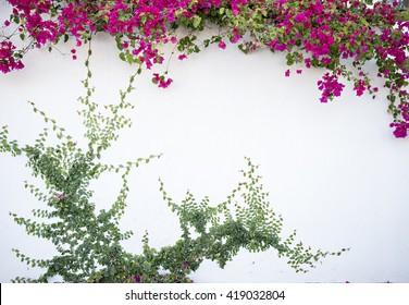 white wall with pink bougainvillea and vines