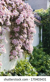 White wall with pink flowering Clematis montana in spring