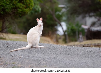 The White Wallaby. Bennett's wallabies (Macropus rufogriseus) with a rare genetic mutation that gives them their white fur. Bruny Island has a population of white wallabies