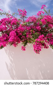 A white washed wall with bright pink bougainvillea plant growing on the top of the wall hanging down, blue sky