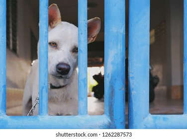 White watchdog is doubting and waiting owner with sad eyes looking through the old bars of blue gate