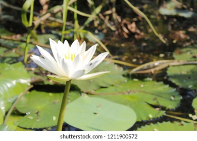 White Water or aquatic lilly (nuphar lutea) in the pound. Just a Lone Lily Being Beautiful - the white lily symbolizes virginity, chastity and virtue, isolated on a nature habitat. copy space.