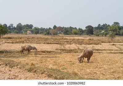 white water buffalo with paddy fields background