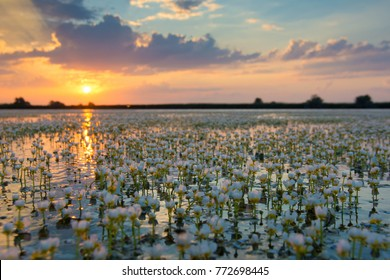 White Water Crow Foot (Ranunculus fluitans) in Sunset Landscape in the Danube Delta
