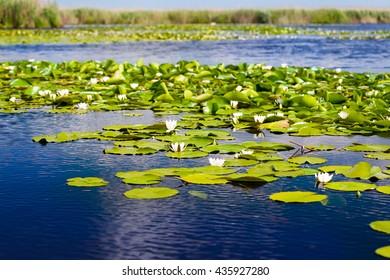 White water lilies in the Danube delta, Romania