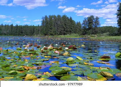 White water lilies floating in remote Minnesota lake