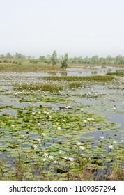 White water lilies growing on lake in wetlands of Sine Saloum Delta, Senegal, Africa