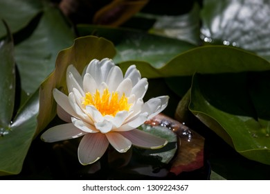 A white water lily blooms behind a lily pad leaf in a crowded pond.