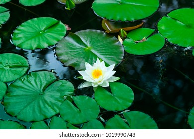 White water lily blooms in a pond. Beauty white lotus which has yellow pollen. Flower of a single white water lily on the water surface of a pond. Beautiful water rose or gorgeous white nenuphar.