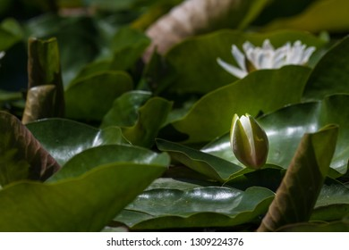 A white water lily bud just starting to open in a pond crowded with green lily pads.
