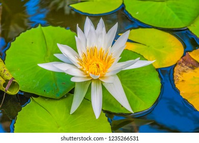 White water lily in close up