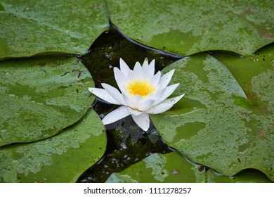 White water lily closeup in a lake