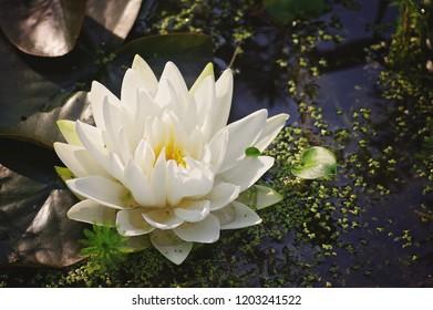 White water lily in dark pond