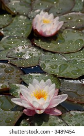 White water lily duo detail