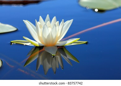White Water Lily. A floating aquatic plant with large, fragrant, white or pink flowers and flat, round, floating leaves.