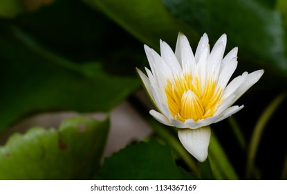 White water lily flower blooming with green leaf in the pond in dim light / Select focus and space for texts
