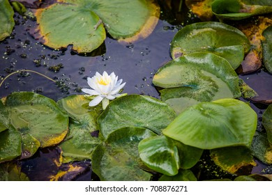 White water lily flower and large green leafs